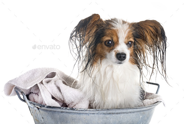papillon and bath - Stock Photo - Images