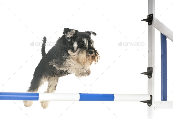 miniature schnauzer in agility - Stock Photo - Images