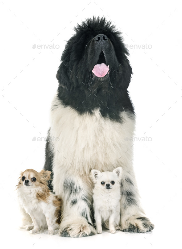 newfoundland dog and chihuahuas - Stock Photo - Images