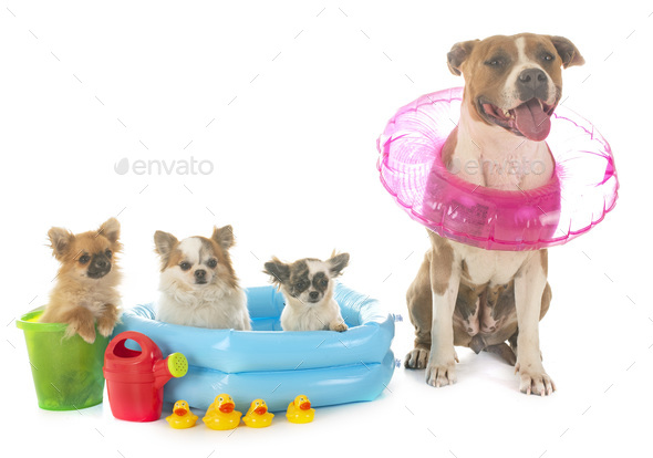 american staffordshire terrier and chihuahua - Stock Photo - Images