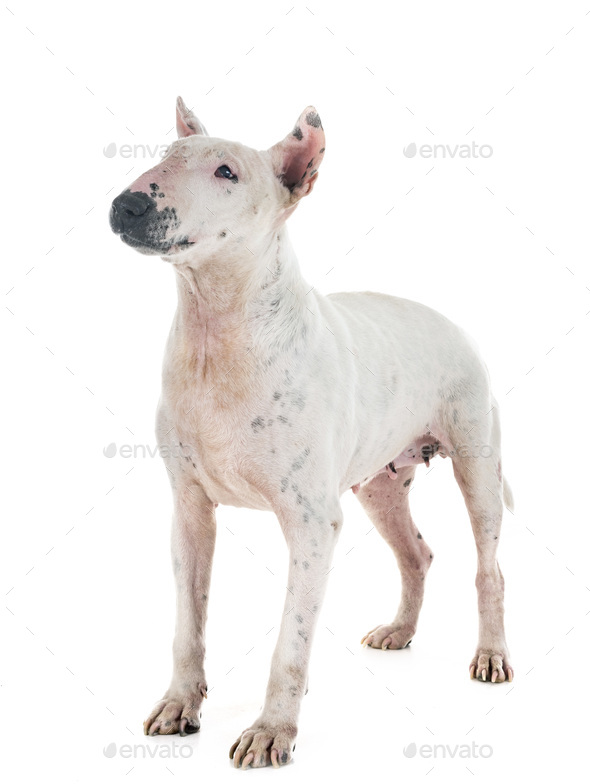 senior bull terrier - Stock Photo - Images