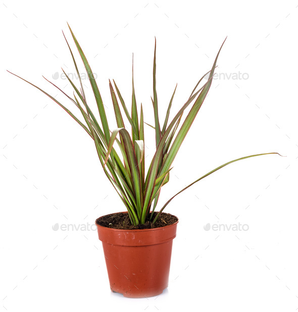 Dracaena in studio - Stock Photo - Images