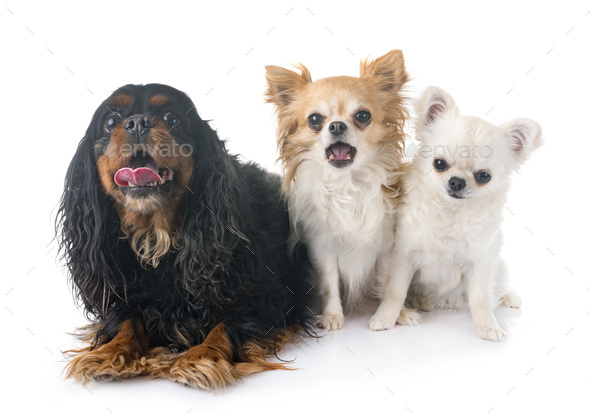 cavalier king charles and chihuahuas - Stock Photo - Images