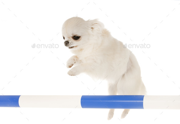jumping chihuahua in studio - Stock Photo - Images