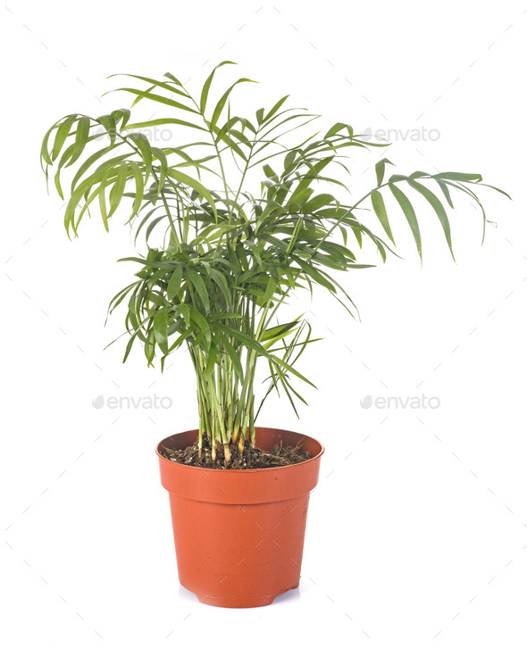 areca in studio - Stock Photo - Images