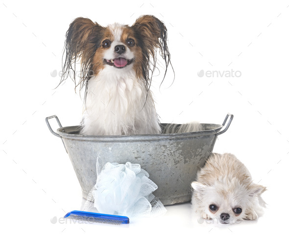 papillon, chihuahua and bath - Stock Photo - Images