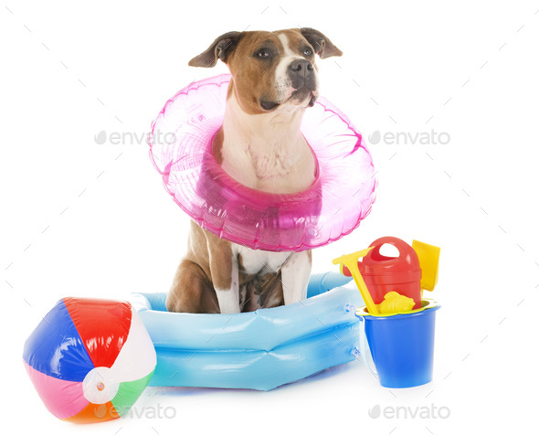 american staffordshire terrier in holidays - Stock Photo - Images