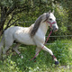 white andalusian horse - PhotoDune Item for Sale