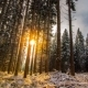 Sun Shines Through Pine Trees in winter Forest - VideoHive Item for Sale