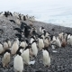 Adelie Penguins Walk Along Beach - VideoHive Item for Sale