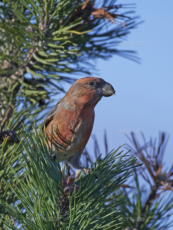 Parrot crossbill (Loxia pytyopsittacus) - Stock Photo - Images