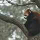Red Panda ailurus fulgens - VideoHive Item for Sale