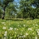 Dandelions in Old Apple Orchard - VideoHive Item for Sale