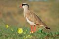 Crowned plover in natural habitat - PhotoDune Item for Sale