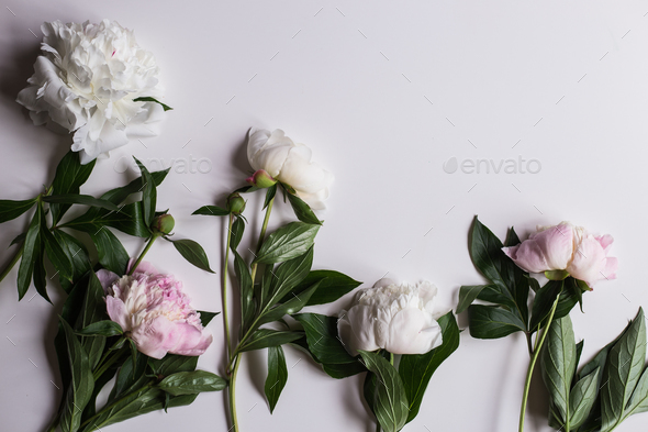 Closeup of beautiful pink and white Peonie flower on light background - Stock Photo - Images