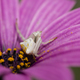Crab spider hunting for insects. - PhotoDune Item for Sale