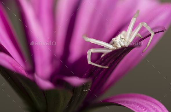 Crab spider hunting for insects. - Stock Photo - Images