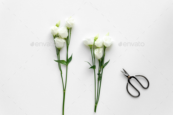 White beautiful roses and plant shears on white background. Top - Stock Photo - Images