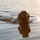Swimming dog - PhotoDune Item for Sale
