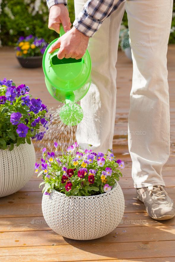 man gardener watering viola flowers in garden - Stock Photo - Images