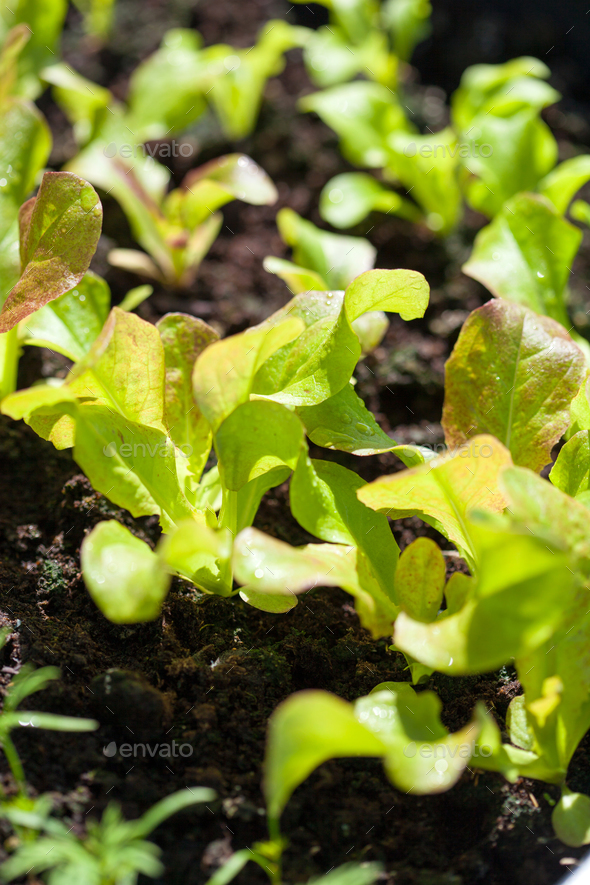 growing radish and salad in container on balcony. vegetable gard - Stock Photo - Images
