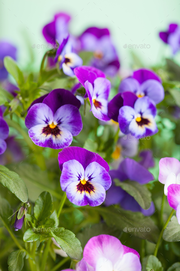 beautiful pansy summer flowers in garden - Stock Photo - Images