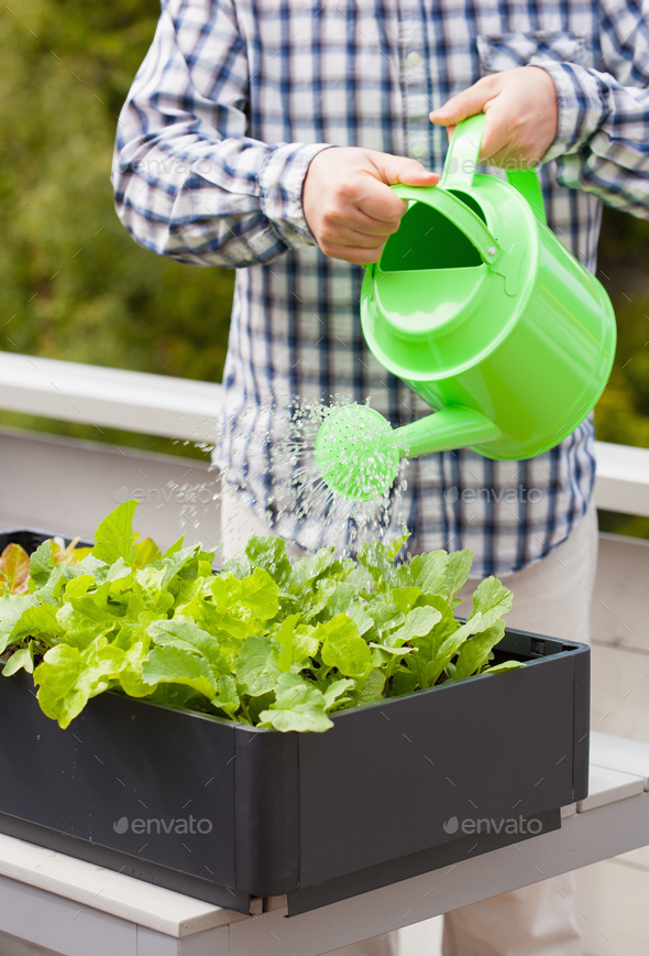 man watering vegetable garden in container on balcony - Stock Photo - Images