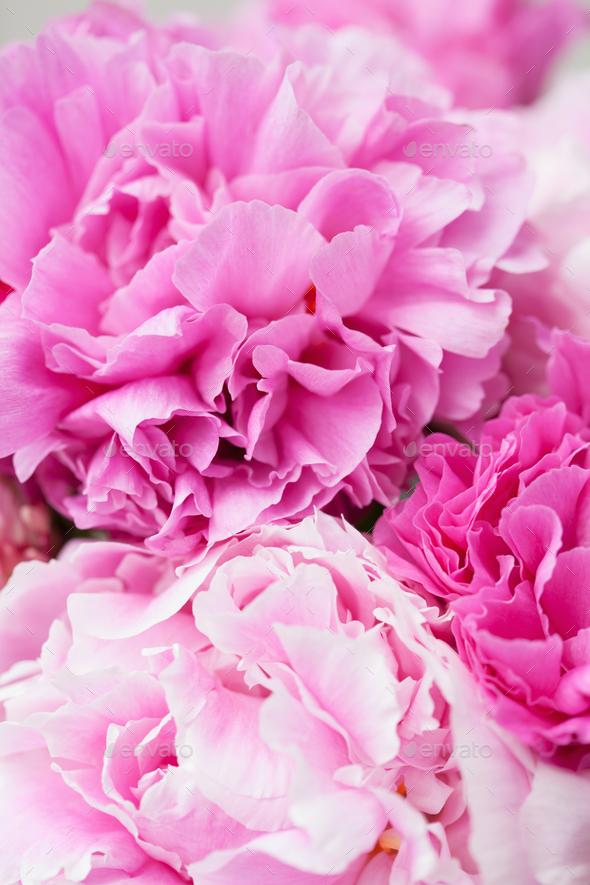beautiful pink peony flower background - Stock Photo - Images