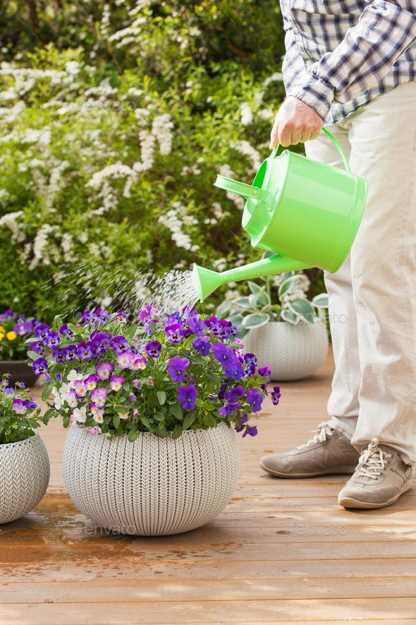 man gardener watering viola flowers in garden - Stock Photo - Images