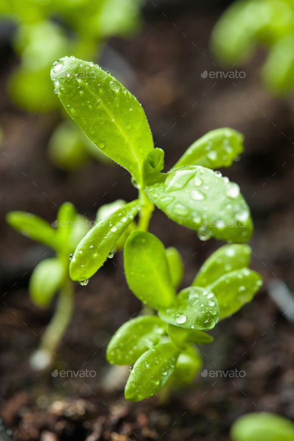 seedling plants growing in germination plastic tray - Stock Photo - Images