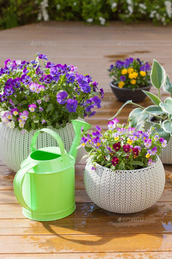 beautiful pansy summer flowers in flowerpots in garden, watering - Stock Photo - Images