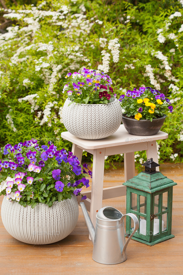 beautiful pansy summer flowers in flowerpots in garden, watering - Stock Photo - Images