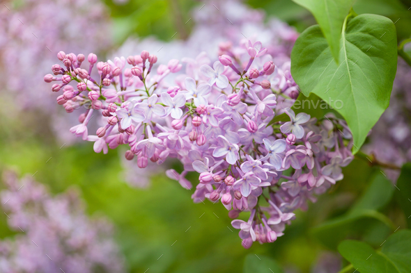 beautiful lilac flowers in garden - Stock Photo - Images