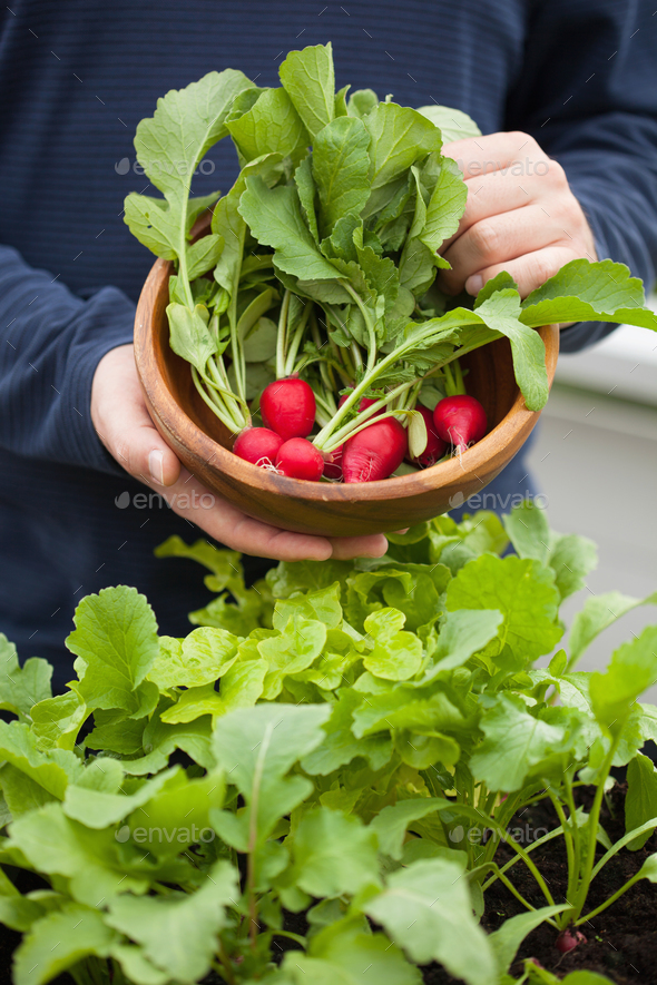 man gardener picking radish from vegetable container garden on b - Stock Photo - Images