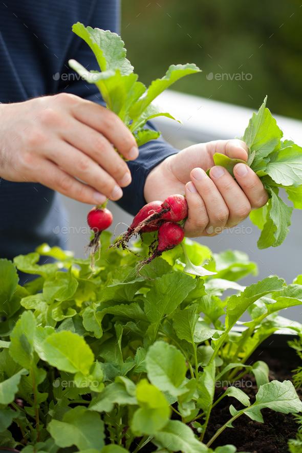man gardener picking radish from vegetable container garden on b - Stock Photo - Images