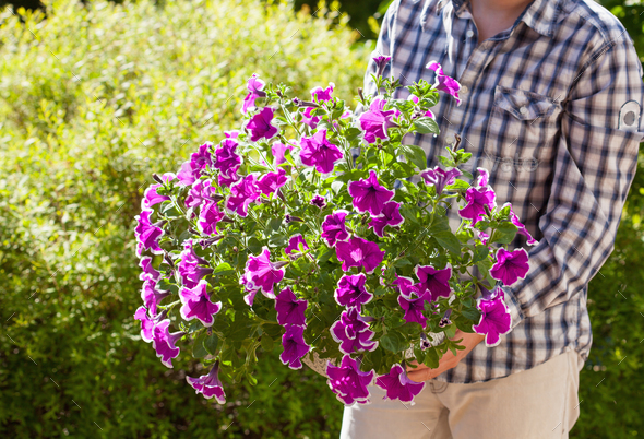 man gardener holding petunia flowers in flowerpot in garden - Stock Photo - Images