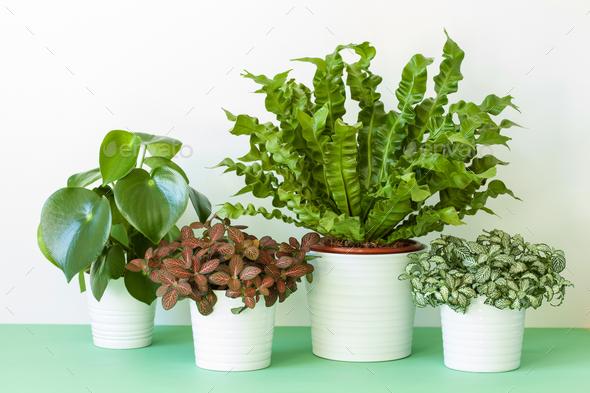 houseplants Asplenium nidus, peperomia and fittonia in flowerpot - Stock Photo - Images