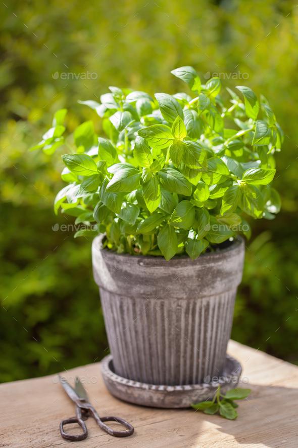 fresh basil herb in flowerpot in garden - Stock Photo - Images