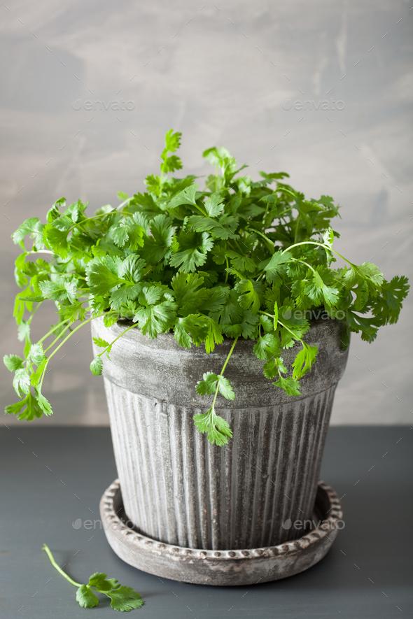 fresh cilantro herb in pot - Stock Photo - Images