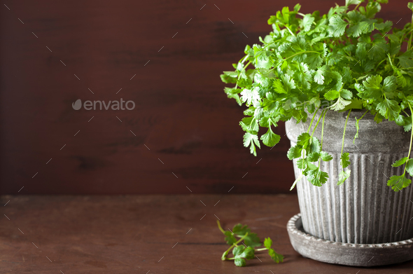 fresh cilantro herb in pot - Stock Photo - Images