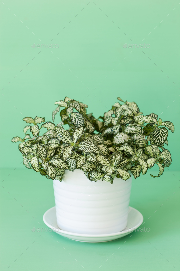 houseplant fittonia albivenis in white flowerpot - Stock Photo - Images