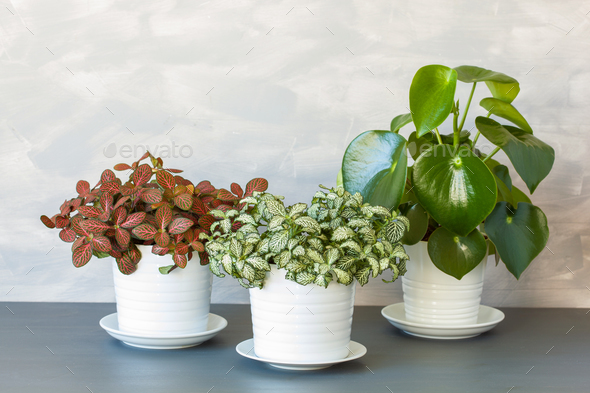 houseplant fittonia albivenis and peperomia in white flowerpot - Stock Photo - Images