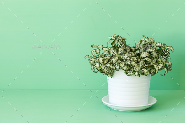houseplant fittonia albivenis in white pot - Stock Photo - Images