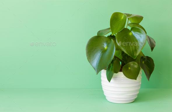 houseplant peperomia in white pot - Stock Photo - Images
