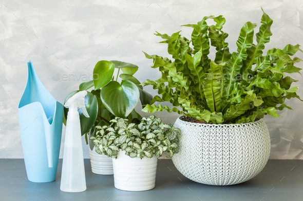 houseplants Asplenium nidus, peperomia and fittonia in flowerpot - Stock Photo - Images