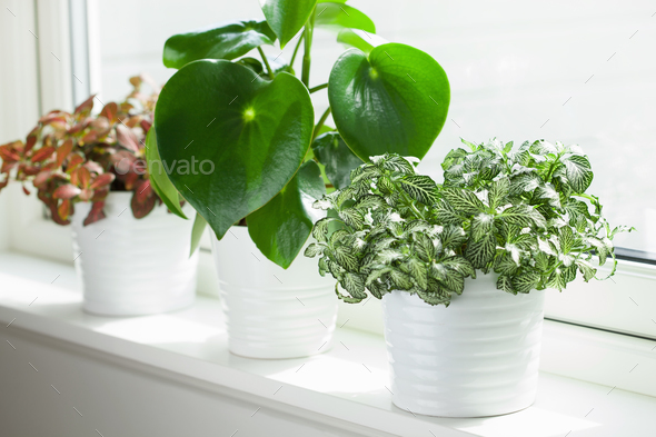 houseplants fittonia albivenis and peperomia in white flowerpots - Stock Photo - Images