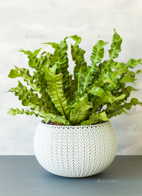 houseplant Asplenium nidus in white flowerpot - Stock Photo - Images