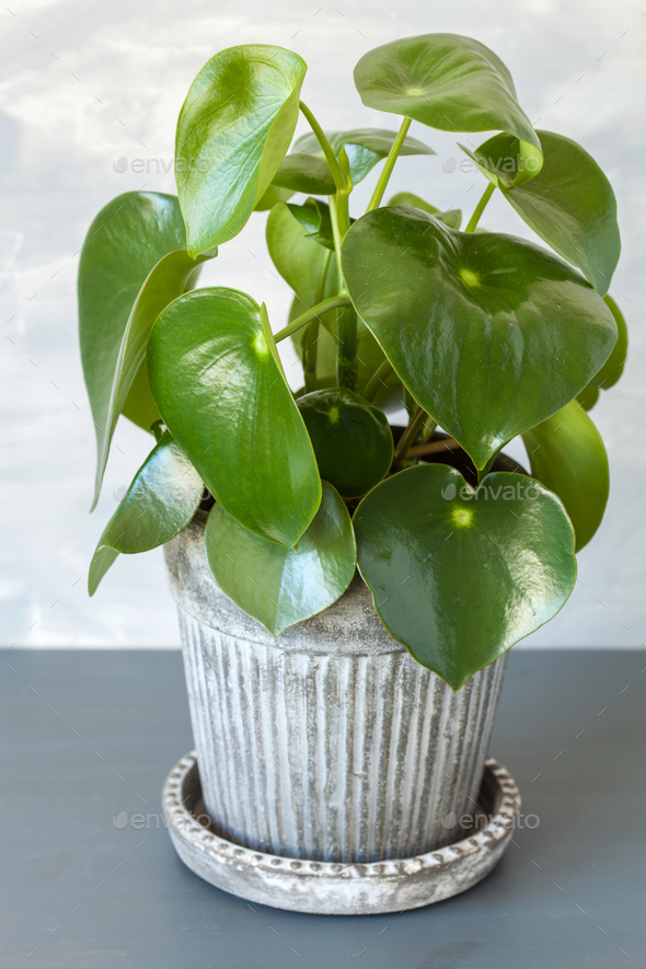 houseplant peperomia in vintage pot - Stock Photo - Images