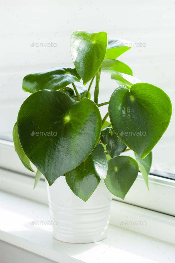 houseplant peperomia in white pot - Stock Photo - Images