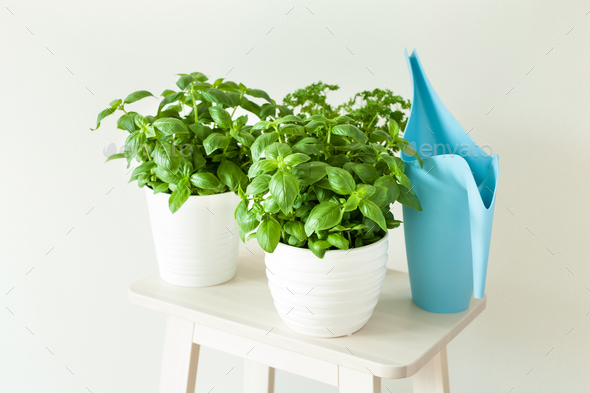 fresh basil and parsley herb in pot - Stock Photo - Images